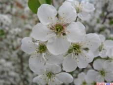 в Кирсанове расцвела вишня